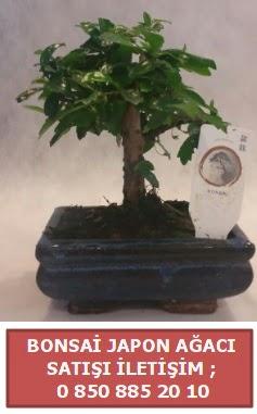 Japon ağacı minyaür bonsai satışı  Samsun 14 şubat sevgililer günü çiçek