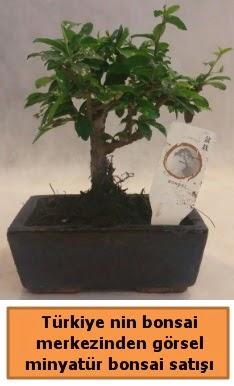 Japon ağacı bonsai satışı ithal görsel  Samsun cicek , cicekci