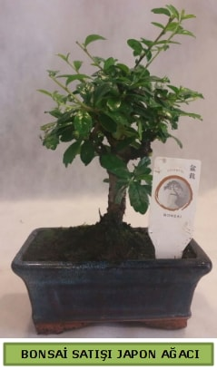 Minyatür bonsai ağacı satışı  Samsun cicekciler , cicek siparisi