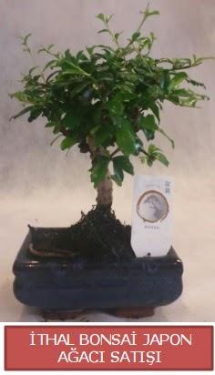 İthal küçük boy minyatür bonsai ağaç bitkisi  Samsun uluslararası çiçek gönderme
