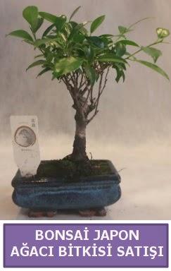 İthal Bonsai japon ağacı bitkisi satışı  Samsun çiçek siparişi vermek