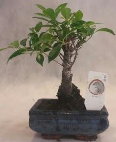 Bonsai ağacı japon ağaç bitkisi  Samsun cicek , cicekci