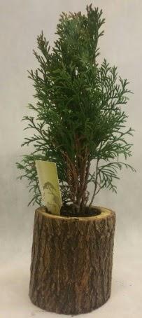 SINIRLI STOK Selvi Bonsai Doğal kütükte  Samsun çiçek siparişi vermek