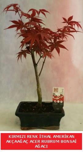 İTHAL ACER RUBRUM BONSAİ AĞACI  Samsun online çiçek gönderme sipariş