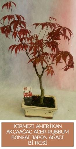 Amerikan akçaağaç Acer Rubrum bonsai  Samsun çiçek yolla