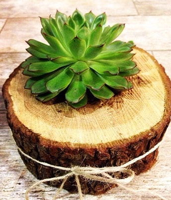 Doğal kütük içerisinde sukulent kaktüs  Samsun 14 şubat sevgililer günü çiçek