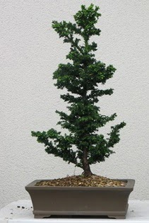 Çam ağacı bonsai bitkisi satışı  Samsun uluslararası çiçek gönderme