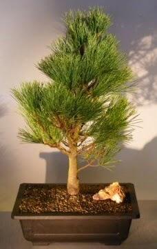 Çam ağacı japon ağacı bitkisi bonsai  Samsun uluslararası çiçek gönderme