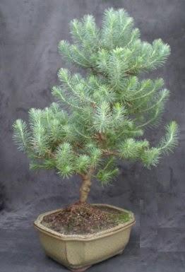Bonsai çam ağacı japon ağacı bitkisi  Samsun online çiçek gönderme sipariş