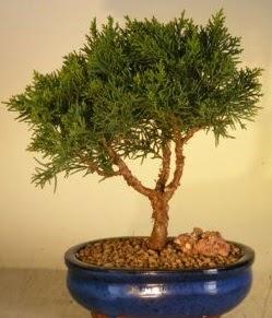 Servi çam bonsai japon ağacı bitkisi  Samsun cicek , cicekci