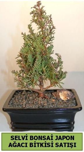Selvi çam japon ağacı bitkisi bonsai  Samsun uluslararası çiçek gönderme