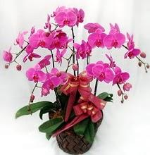 Sepet içerisinde 5 dallı lila orkide  Samsun hediye sevgilime hediye çiçek