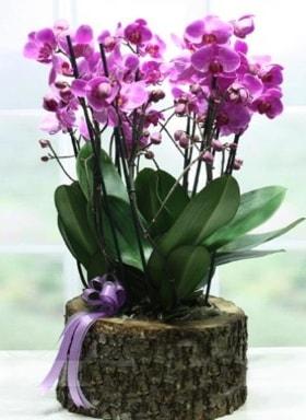 Kütük içerisinde 6 dallı mor orkide  Samsun hediye sevgilime hediye çiçek