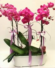 Beyaz seramik içerisinde 4 dallı orkide  Samsun hediye sevgilime hediye çiçek