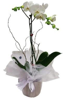 Tek dallı beyaz orkide  Samsun İnternetten çiçek siparişi