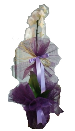 Tek dallı beyaz orkide süper kalite ithal  Samsun çiçek mağazası , çiçekçi adresleri