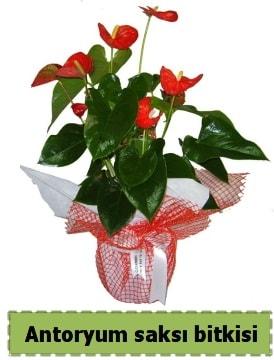 Antoryum saksı bitkisi satışı  Samsun anneler günü çiçek yolla
