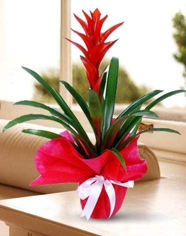 Guzmanya Saksı Çiçeği  Samsun cicek , cicekci