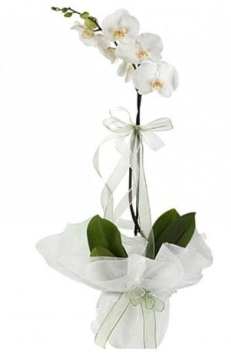Tekli Beyaz Orkide  Samsun çiçek online çiçek siparişi