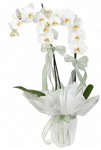Çift Dallı Beyaz Orkide  Samsun çiçekçi telefonları