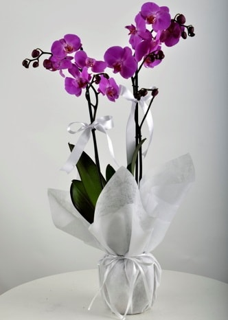 Çift dallı saksıda mor orkide çiçeği  Samsun online çiçekçi , çiçek siparişi