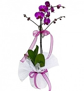 Tek dallı saksıda ithal mor orkide çiçeği  Samsun güvenli kaliteli hızlı çiçek