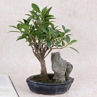 Japon ağacı Evergreen Ficus Bonsai  Samsun online çiçek gönderme sipariş