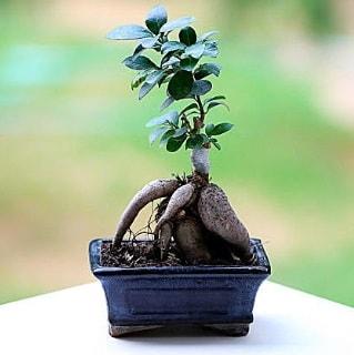Marvellous Ficus Microcarpa ginseng bonsai  Samsun online çiçekçi , çiçek siparişi