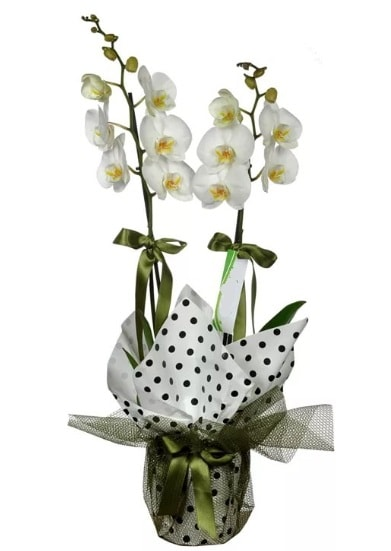 Çift Dallı Beyaz Orkide  Samsun çiçek gönderme