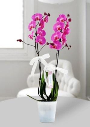 Çift dallı mor orkide  Samsun güvenli kaliteli hızlı çiçek