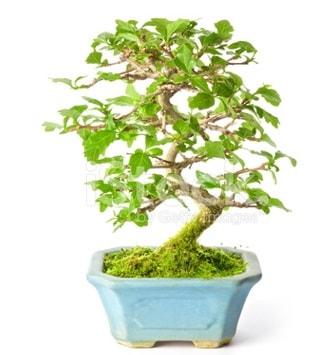 S zerkova bonsai kısa süreliğine  Samsun çiçek siparişi vermek