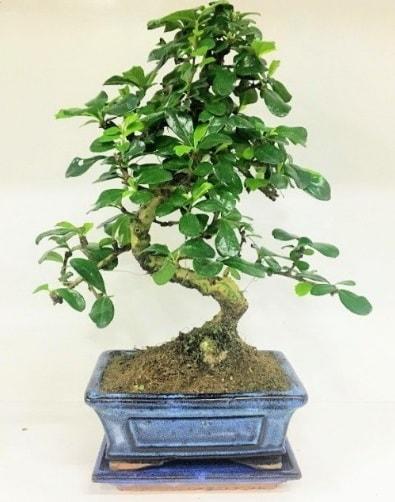 S Bonsai japon ağacı bitkisi  Samsun çiçek yolla