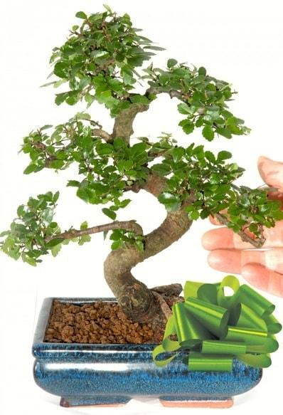 Yaklaşık 25 cm boyutlarında S bonsai  Samsun çiçek mağazası , çiçekçi adresleri
