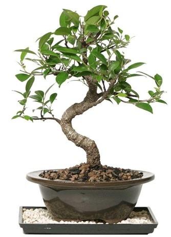 Altın kalite Ficus S bonsai  Samsun uluslararası çiçek gönderme  Süper Kalite