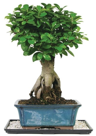 Bonsai Ginsing Grafted Ficus Bonsai  Samsun cicek , cicekci